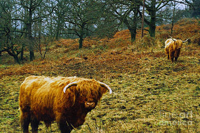 Art Print featuring the photograph Highland Cows Landscape by Cassandra Buckley