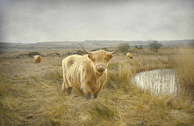 Art Print featuring the photograph Highland Moo's by Roy  McPeak