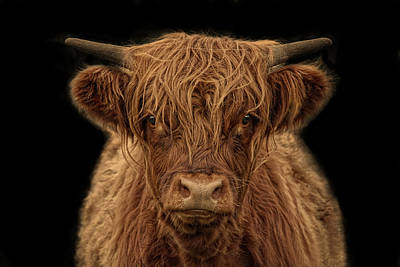 Cattle Photograph - Highlander by Joachim G Pinkawa