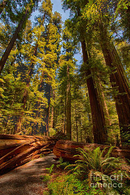 Of Artist Photograph - Hikers Paradise - California Redwoods I by Dan Carmichael