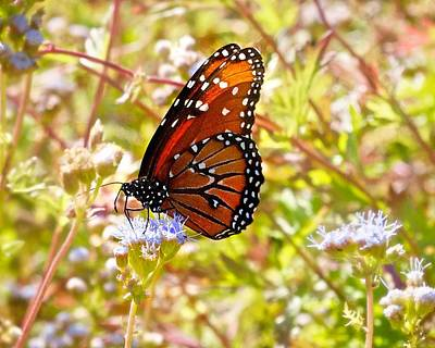 Photograph - Hill Country Butterfly by Kristina Deane