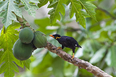 Common Myna Photograph - Hill Myna Eating Papaya India by Konrad Wothe