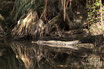 Photograph - Hillsborough River Alligator by Lora Duguay