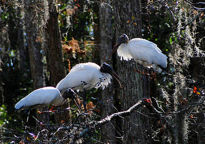 Photograph - Hillsborough Woodstorks 01 by Carol Kay