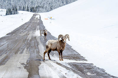 Photograph - On The Road Again Big Horn Sheep  by Roxy Hurtubise