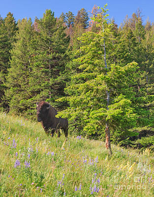 Photograph - Hillside Bison With Lupines by Charles Kozierok