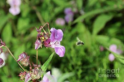 Impatiens Flowers Photograph - Himalayan Balsam And Bee by Cordelia Molloy