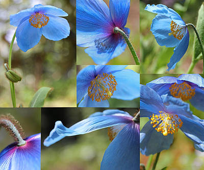 Himalayan Blue Poppy Collage Print by Jennie Marie Schell