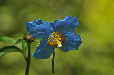 Himalayan Blue Poppy Art Print