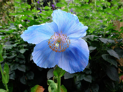 Photograph - Himalayan Blue Poppy by Richard Reeve