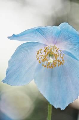 Himalayan Poppy (meconopsis Sp.) Art Print by Maria Mosolova