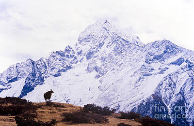 Mountain Royalty-Free and Rights-Managed Images - Himalayan Yak by Tim Hester