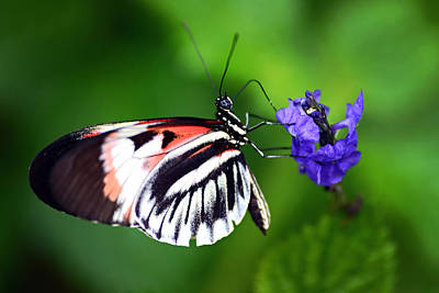 Photograph - Hint Of Red Butterfly by Vanessa Valdes