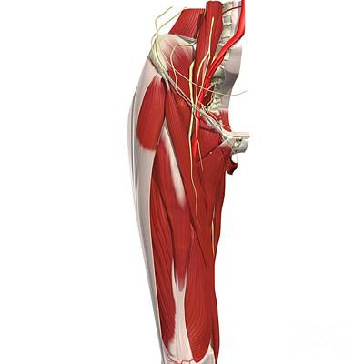 Hip And Thigh ? Anterior View Art Print by Medical Images, Universal Images Group
