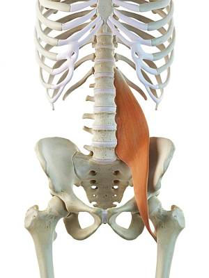 Hip Muscle Art Print