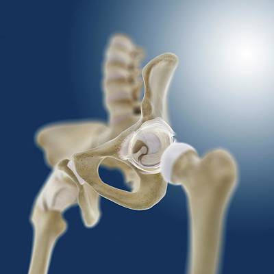 Articulation Photograph - Hip Socket Anatomy by Springer Medizin