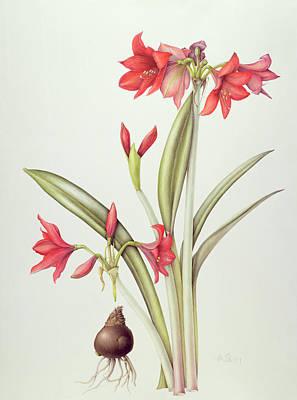 Red Flowers Drawing - Hippeastrum Pamela by Margaret Ann Eden