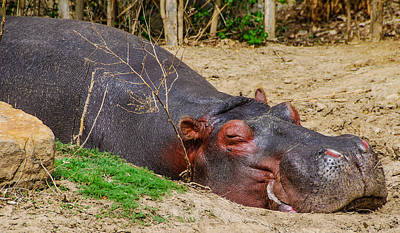 Photograph - Hippo Dreams by Harry Strharsky