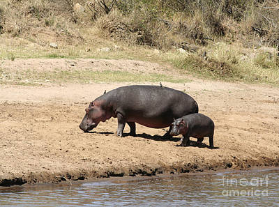 Hippopotamus Photograph - Hippo Mum And Calf by Liz Leyden