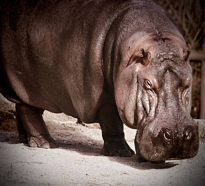 Photograph - Hippo by Pennie  McCracken