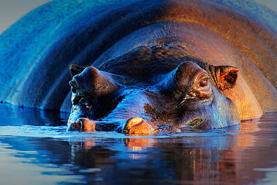 Portraits Photos - Hippopotamus  at sunset by Johan Swanepoel