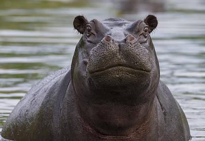 Hippopotamus Photograph - Hippopotamus Bull Khwai River Botswana by Vincent Grafhorst