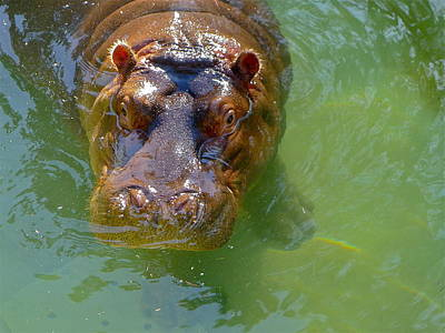 Photograph - Hippopotamus by Denise Mazzocco