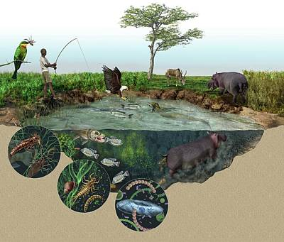 Food Web Photograph - Hippopotamus Ecological Impact by Nicolle R. Fuller