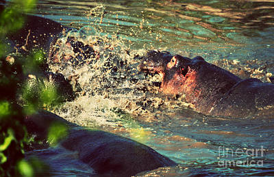 Head Photograph - Hippopotamus Fight In River. Serengeti. Tanzania by Michal Bednarek