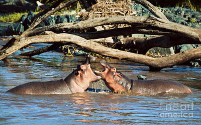 Head Photograph - Hippopotamus Fighting In River. Serengeti. Tanzania by Michal Bednarek