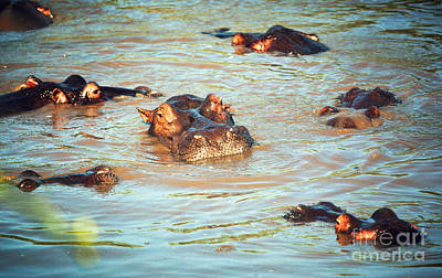 Eyes Photograph - Hippopotamus Group In River. Serengeti. Tanzania by Michal Bednarek