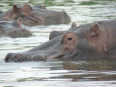 Photograph - Hippopotamus In Kenya by Tony Murtagh
