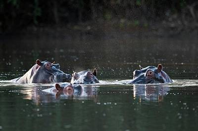 Hippopotamus Pod In A Waterhole Print by Tony Camacho