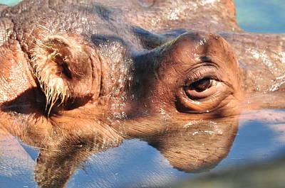 Photograph - Hippopotamus by Puzzles Shum
