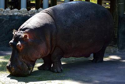 Photograph - Hippopotamus by Richard Zentner
