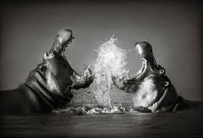 Animals Photos - Hippos fighting by Johan Swanepoel