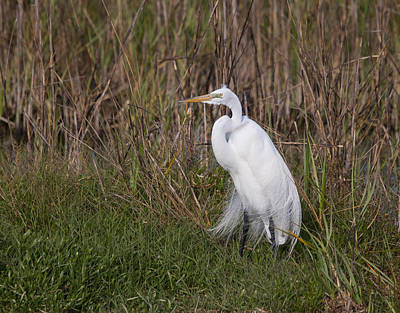 Wildlife Photograph - His Majesty The Great Egret by John M Bailey