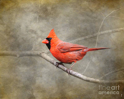 Cardinals. Wildlife. Nature Photograph - His Red Glory by Jai Johnson