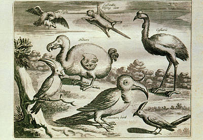 Cockatoo Photograph - Historical Engraving Of A Dodo And Other Birds by George Bernard/science Photo Library
