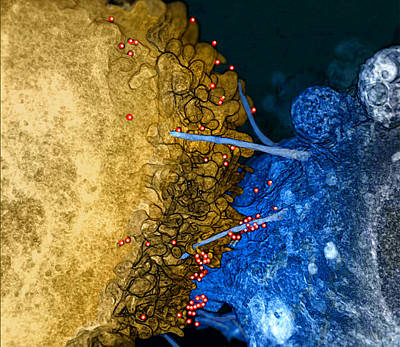 Hiv Virions, Filopodial Bridges Art Print