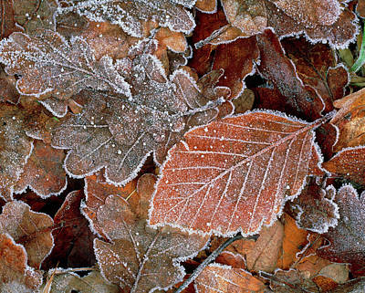 Hoar Frost Photograph - Hoar Frost On Dead Fallen Leaves. by Simon Fraser/science Photo Library