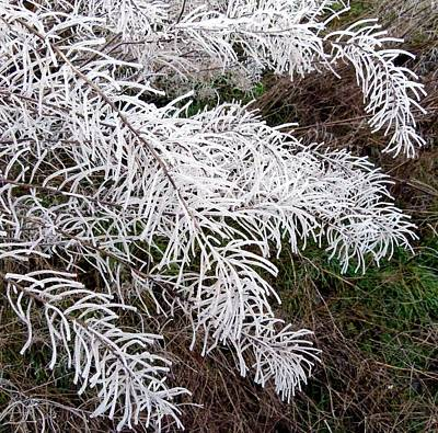 Photograph - Hoarfrost 26 by Will Borden
