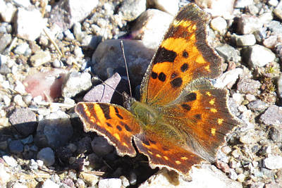 Photograph - Hoary Comma by Frank Townsley