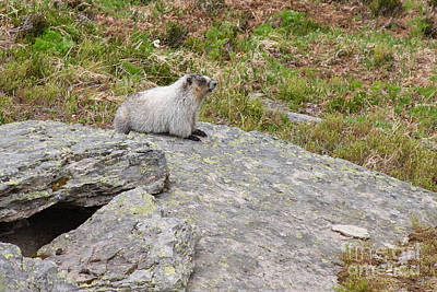 Photograph - Hoary Marmot by Charles Kozierok