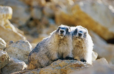 Hoary Marmot Pair Sitting On Rock Art Print by Thomas Sbamato