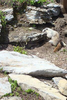Photograph - Hoary Marmot by Susan Woodward