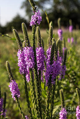 Photograph - Hoary Vervain by Jim McCain