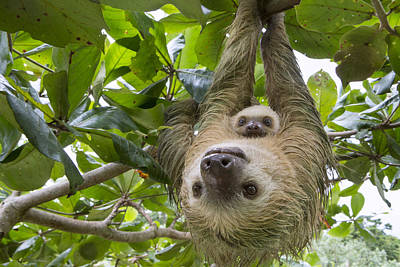 Hoffmanns Two-toed Sloth And Old Baby Art Print by Suzi Eszterhas
