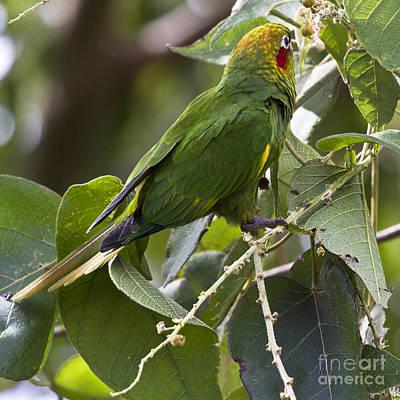 Parakeet Photograph - Hoffman's Conure by Heiko Koehrer-Wagner