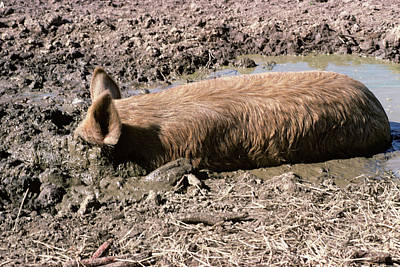 Pig Photograph - Hog Wallowing Rooting In Mud by Vintage Images